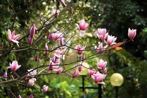 黄叶与繁花同框,广州之春的浪漫原来是这样的