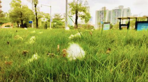 木棉絮满天飞 ,市林业局:力求培育出多花少果的木棉新品系